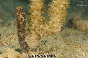 Sea Horse, Close-Up by Pedro Padilla 